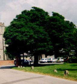 jubilee tree 2